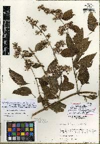 Critonia wilburii image
