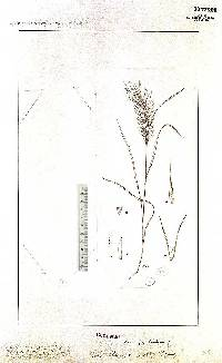 Pereilema crinitum image