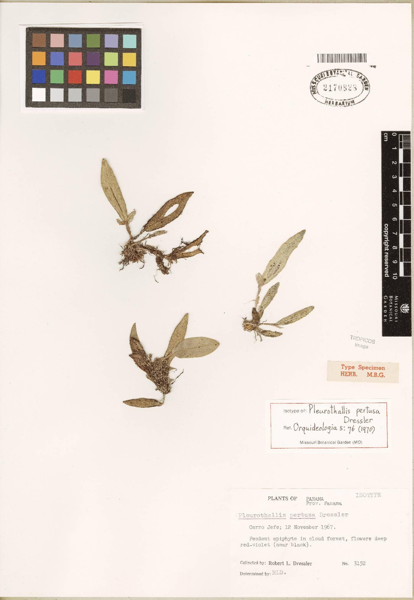 Dresslerella pertusa image