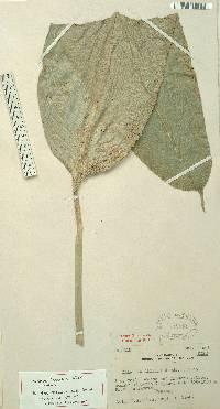 Image of Calathea allenii