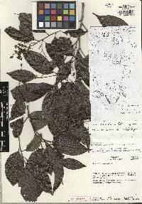 Image of Ocotea pausiaca