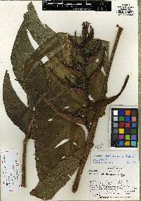 Image of Heliconia darienensis
