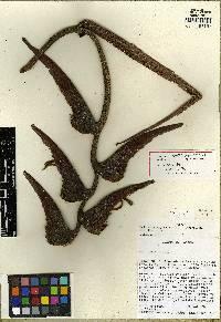 Heliconia pogonantha image