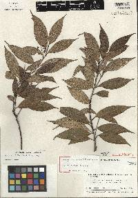 Image of Ocotea viridiflora