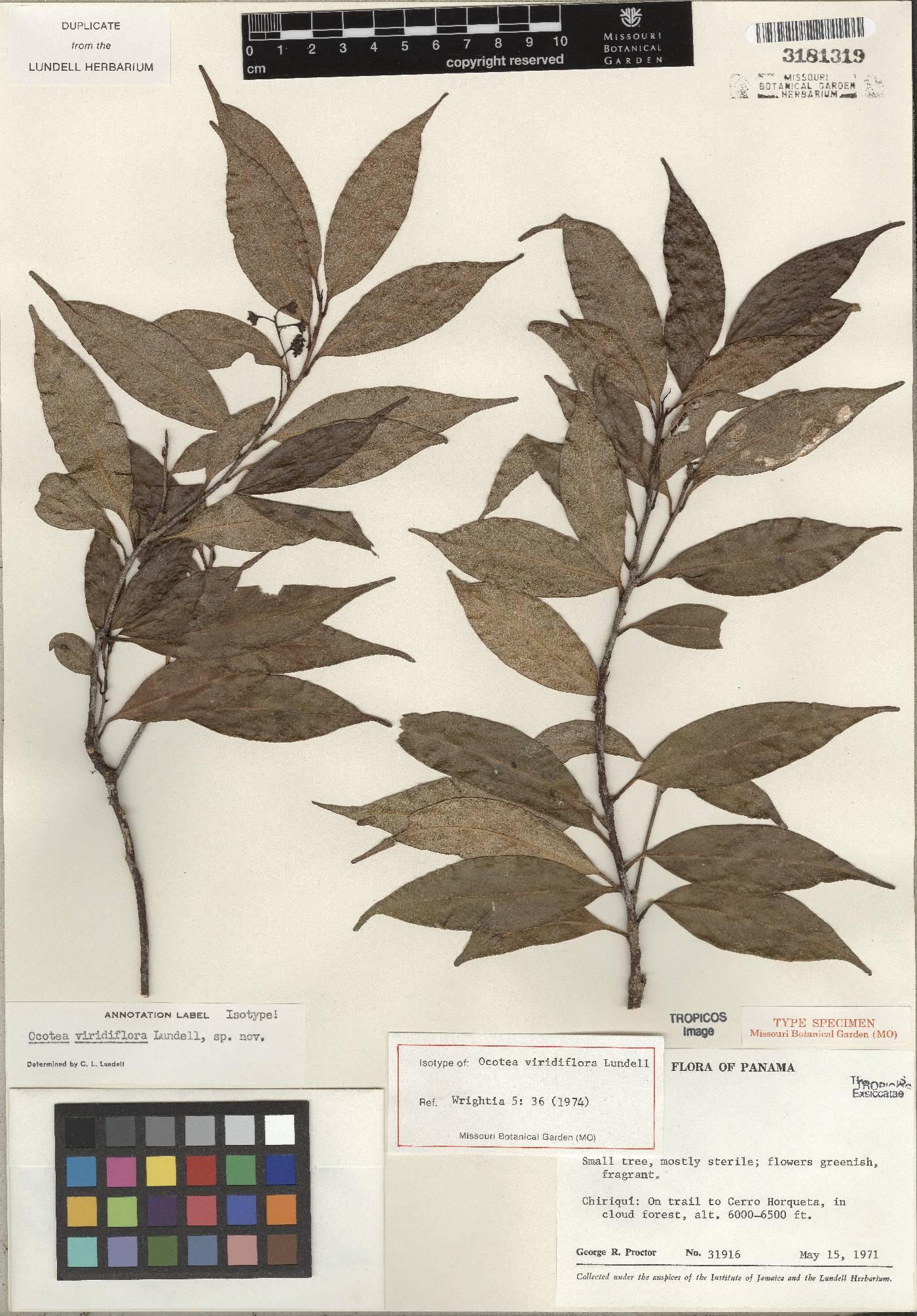 Ocotea viridiflora image