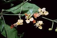 Adelphia hiraea image