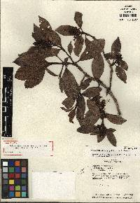Hedyosmum correanum image