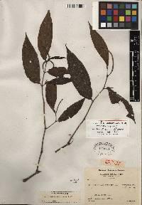 Image of Piper minute-scabiosum