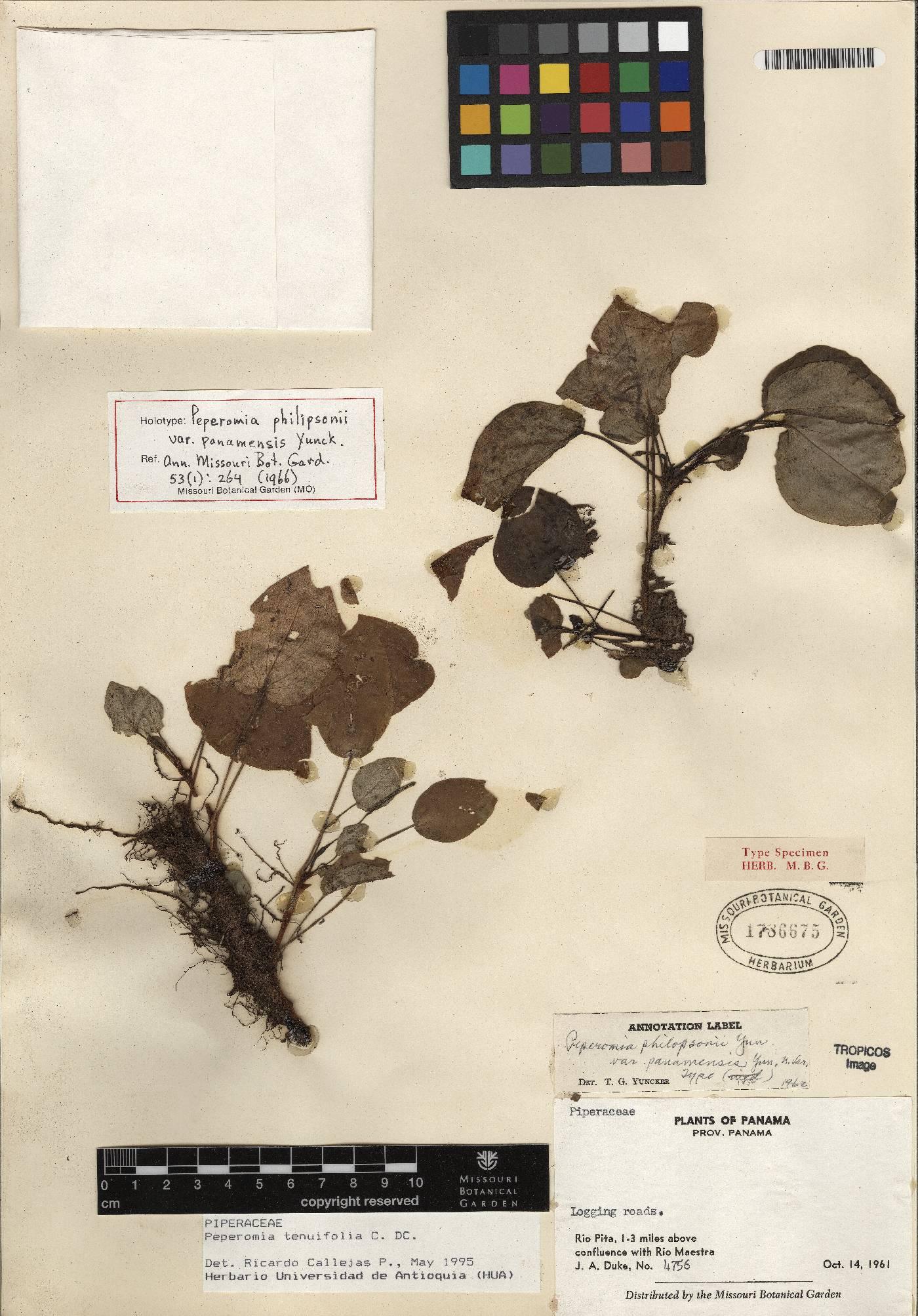 Peperomia tenuifolia image