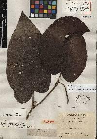 Image of Piper obliquum