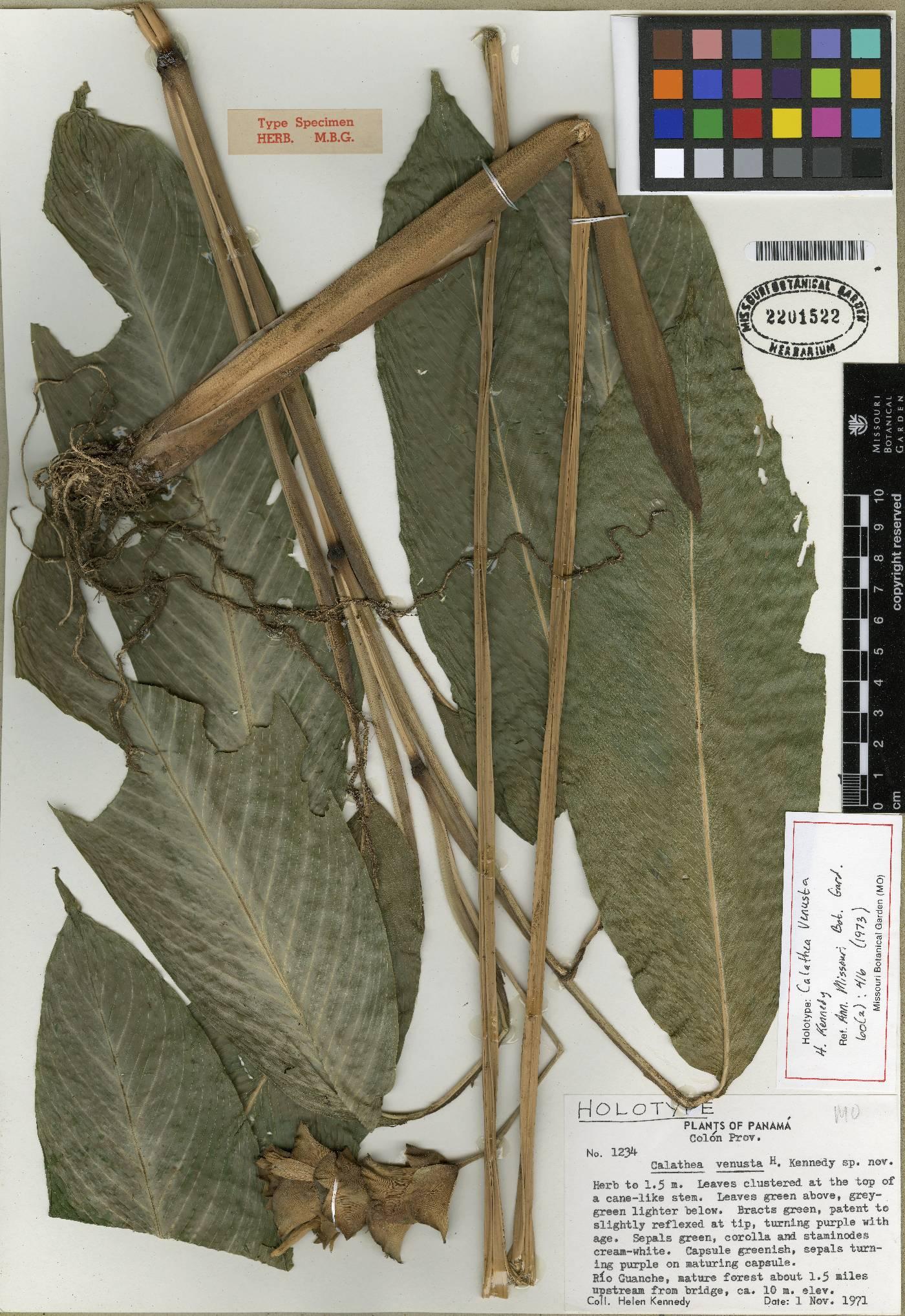 Calathea venusta image