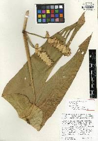 Image of Calathea spiralis