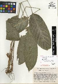 Image of Calathea nitidifolia
