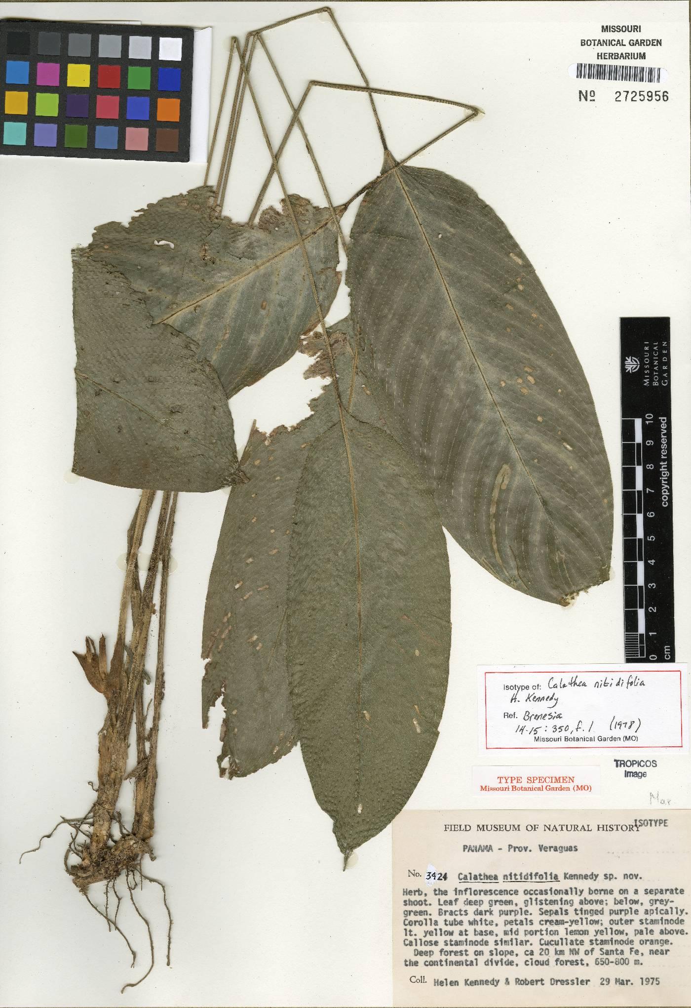 Calathea nitidifolia image