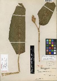 Calathea marantifolia image