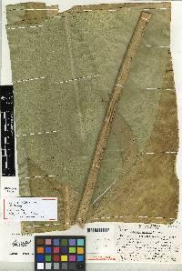 Image of Calathea similis