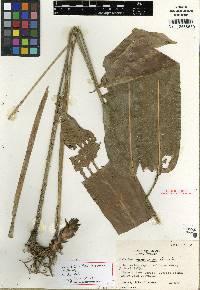 Image of Calathea verecunda