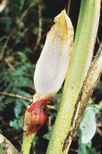 Xanthosoma undipes image