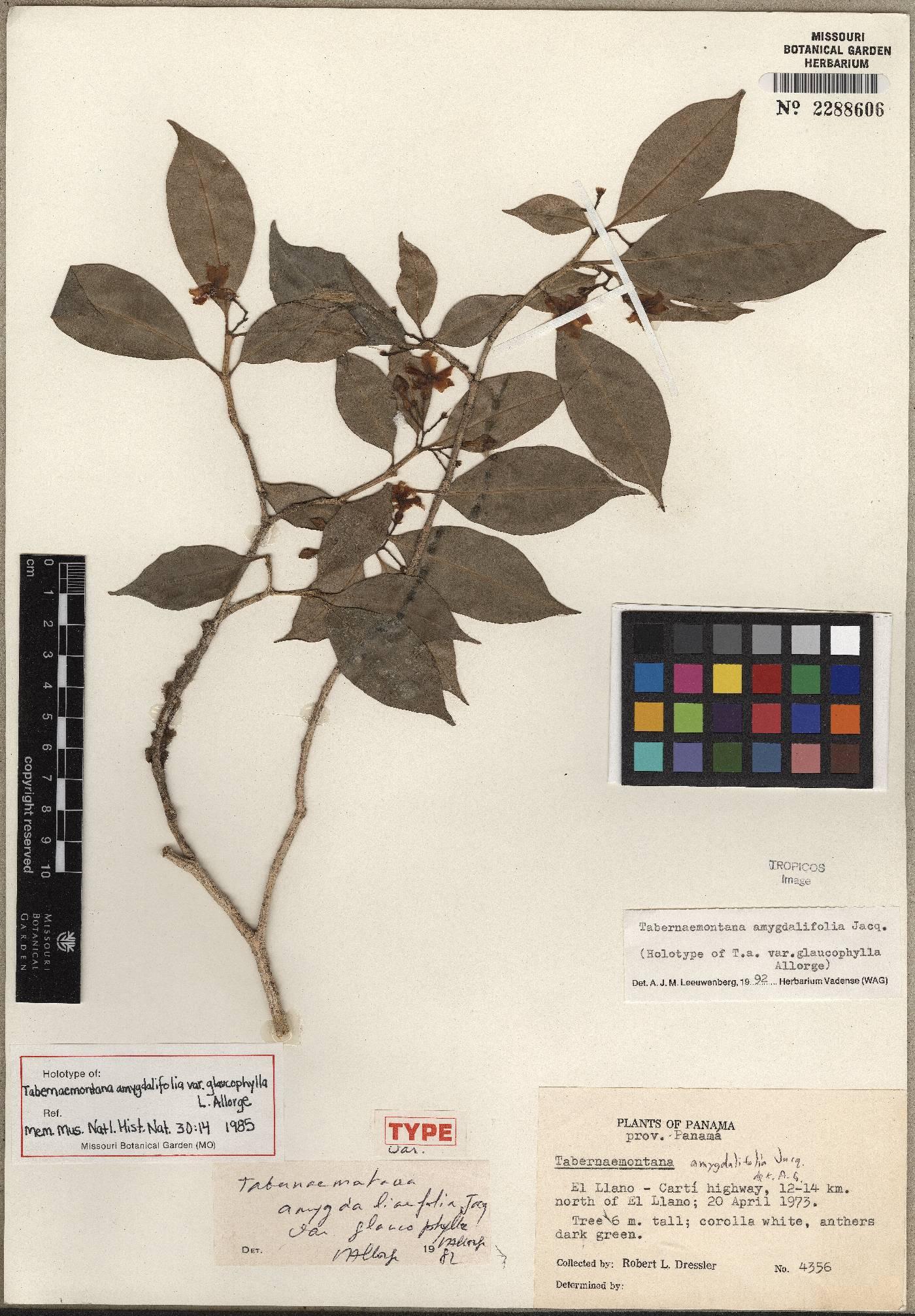 Tabernaemontana amygdalifolia image