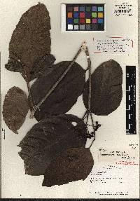 Image of Dendropanax maritimus