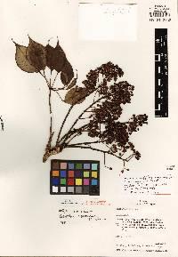 Image of Schefflera aquaverensis
