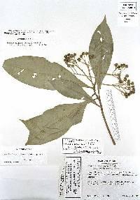 Ardisia opegrapha image