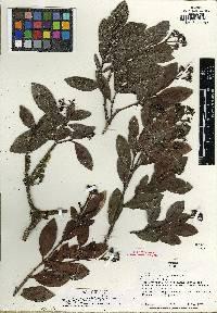 Image of Psychotria cascajalensis