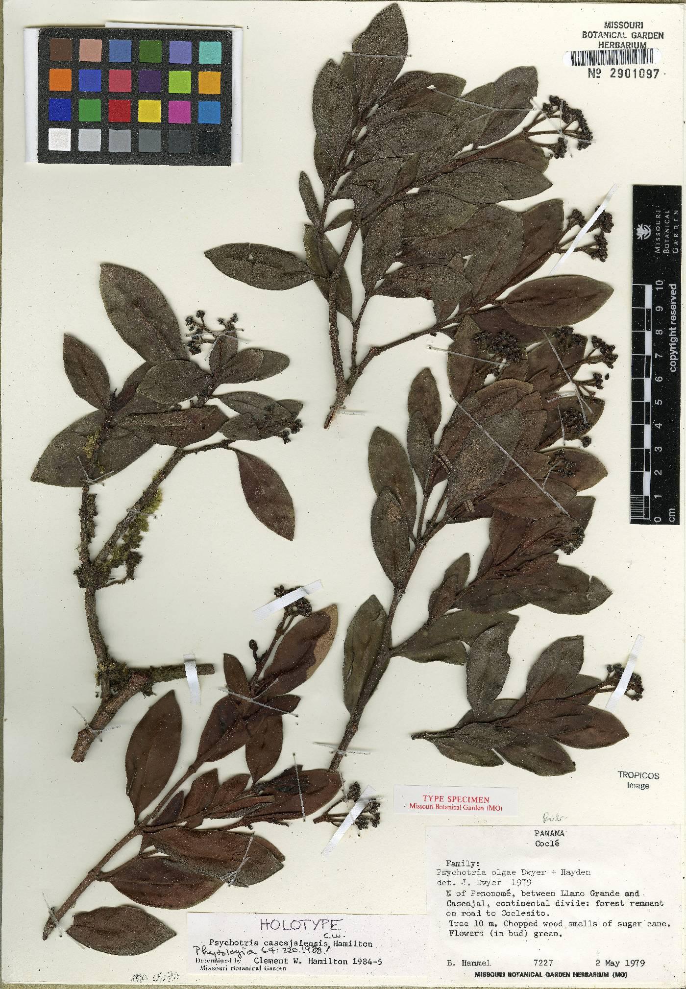 Psychotria cascajalensis image