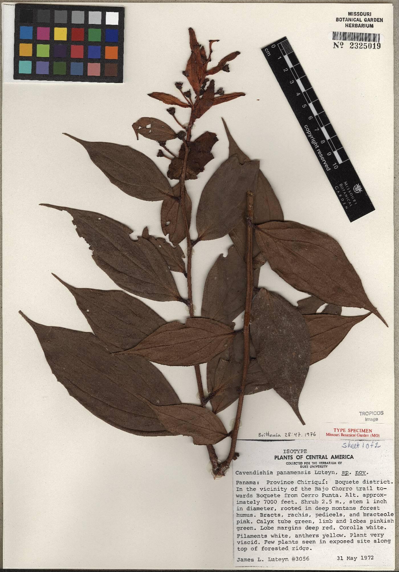 Cavendishia panamensis image