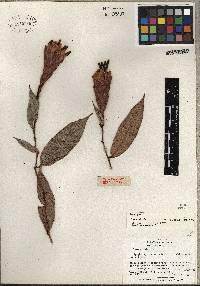 Image of Cavendishia fusiformis