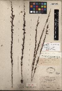 Image of Ipomoea capillacea