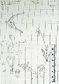 Image of Trichosalpinx dressleri