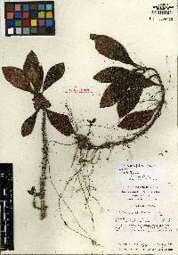 Rufodorsia major image