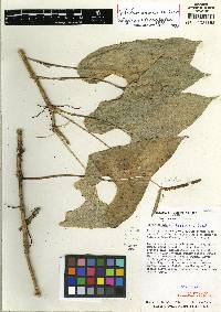Anthurium folsomianum image