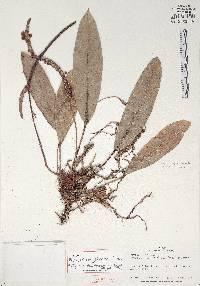Anthurium jefense image