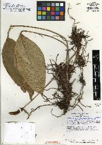Anthurium lancifolium image