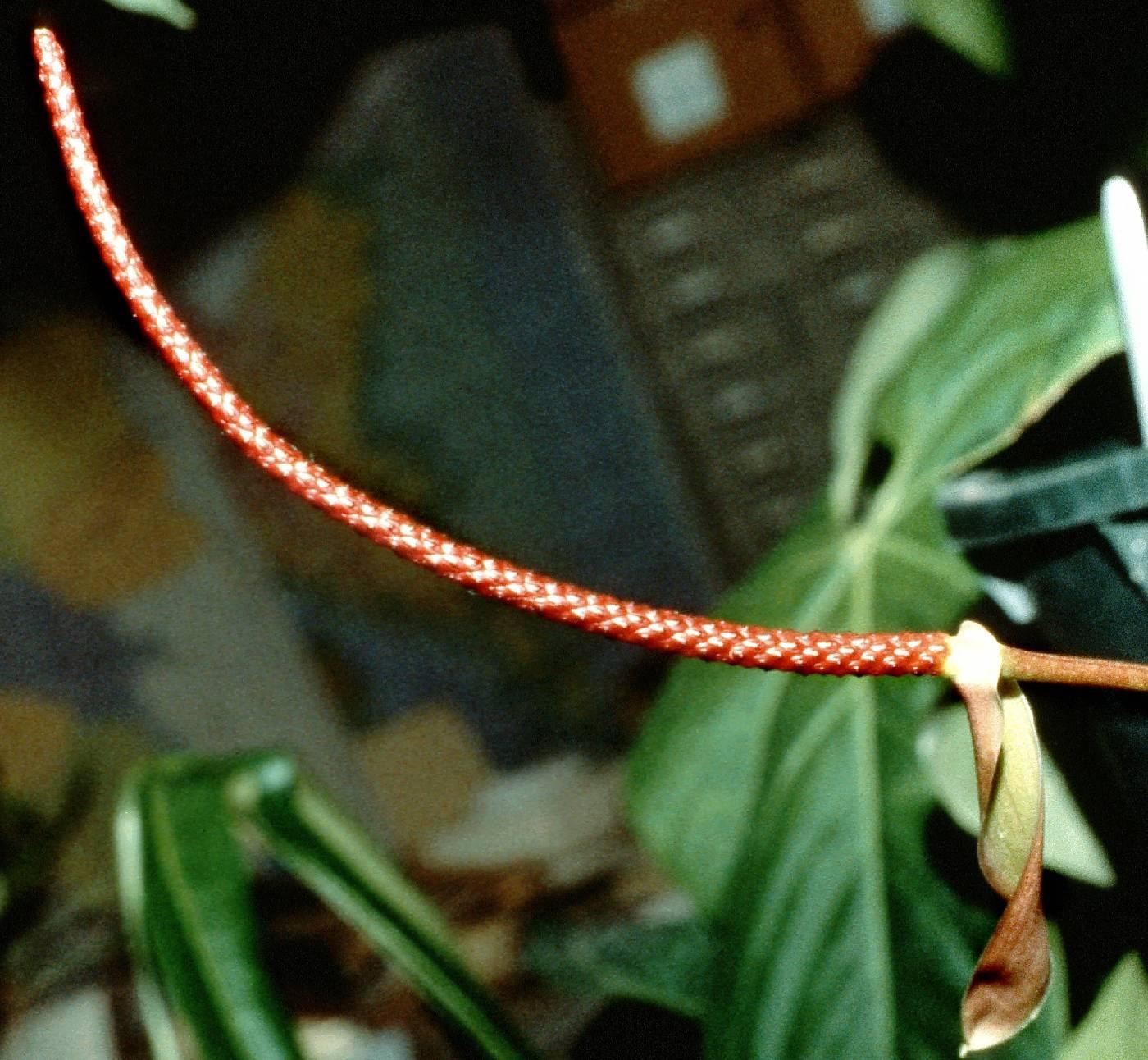 Anthurium pirrense image