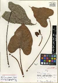 Anthurium globosum image