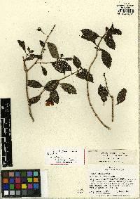 Drymonia folsomii image