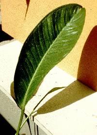 Anthurium ramonense image