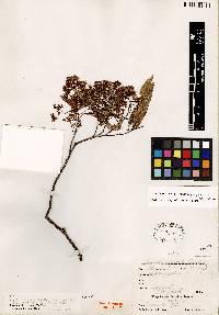 Zanthoxylum acuminatum image