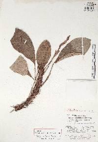 Anthurium tacarcunense image