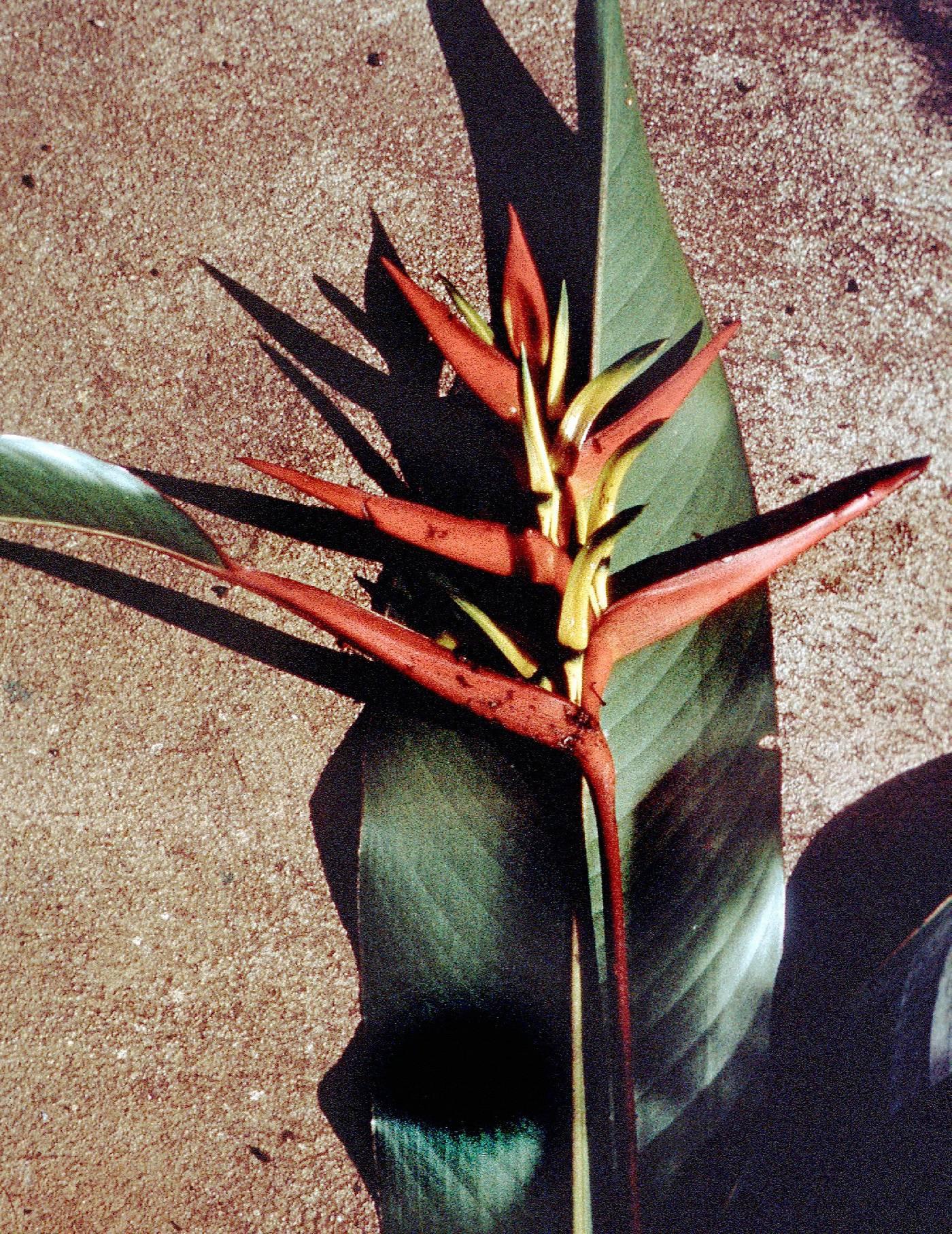 Heliconia subulata image