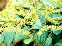 Dioscorea standleyi image
