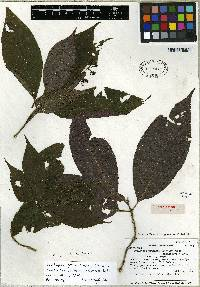 Psychotria cyanococca image