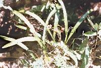 Trigonidium egertonianum image
