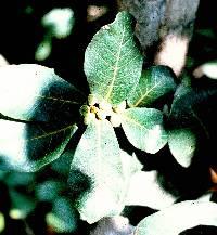 Ficus popenoei image