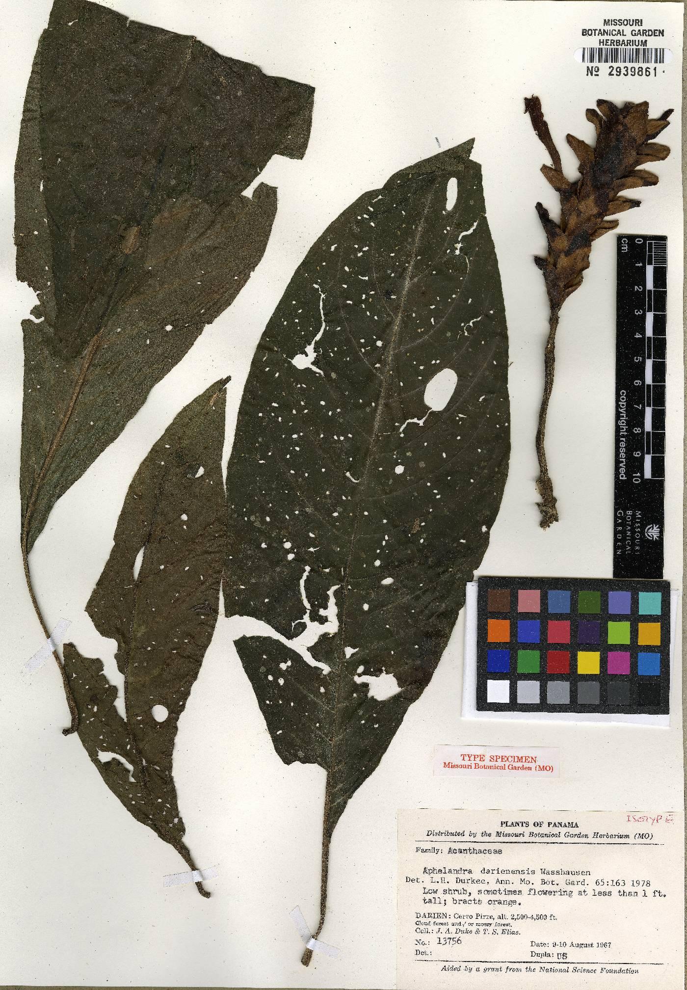 Aphelandra darienensis image