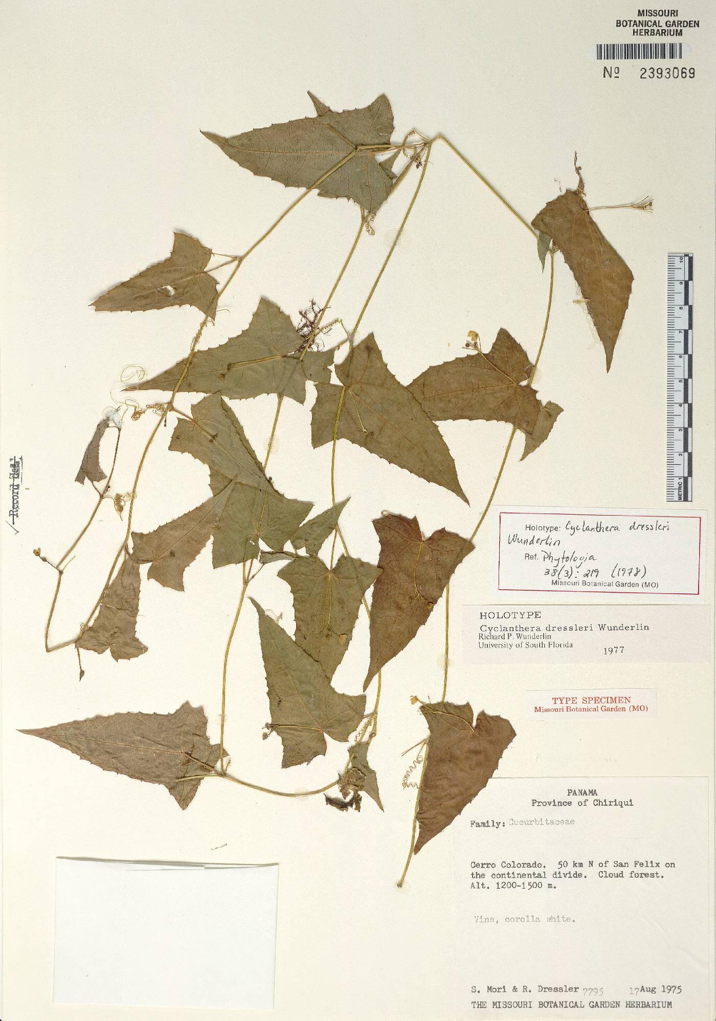 Cyclanthera dressleri image