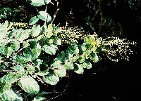 Omphalea diandra image